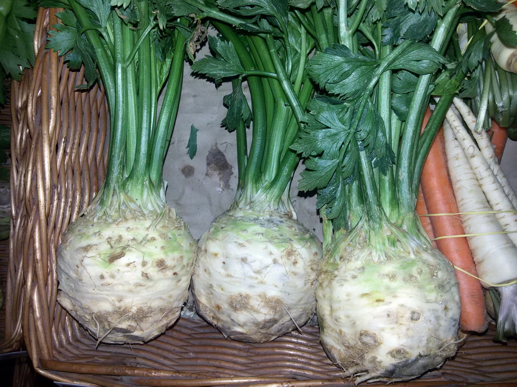 Celer koren 1kom
